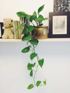 planta jiboia em vaso