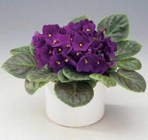 violeta lilás